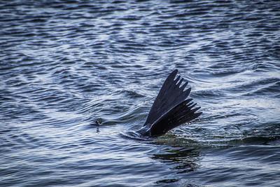 Sea Lion at Sullivan Bay/ Santiago Island