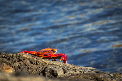 Sally Light Foot Crab at Sullivan Bay/ Santiago Island