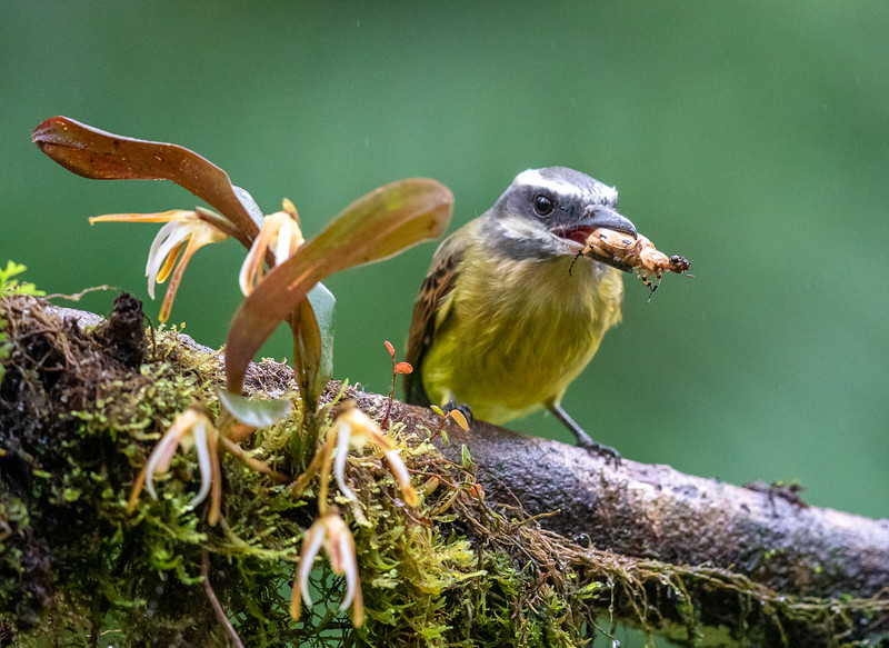 Golden-crowned Flycatcher