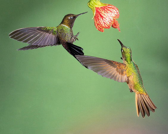 Gorgeted Sunangel and Buff-tailed Coronet