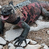 Another Marine Iguana