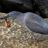 Galápagos Heron