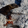 Baby Sea Lion with Sally Lightfoot Crabs