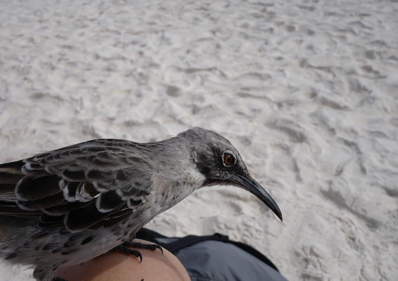 A Galápagos Mockingbird hopped up on my knee