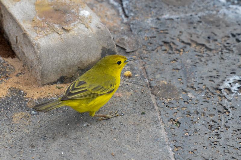 Yellow Darwin's Finch