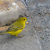 Yellow Darwin's Finch