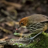 Chestnut-crowned Antpitta, Guango Valley