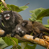 Black-mantled Tamarins, Sumaco area