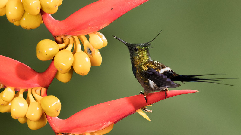 Wire-crested Thorntail, Sumaco area