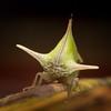 Treehopper, Sumaco area