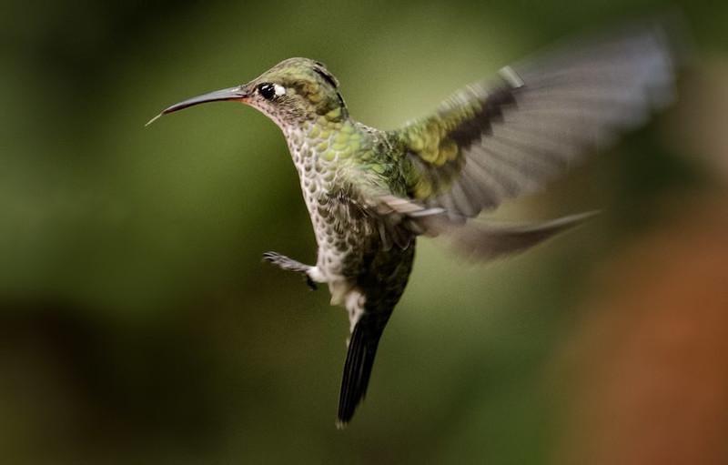 Many-spotted Hummingbird, Sumaco area