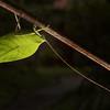 Leaf Katydid, Sumaco area