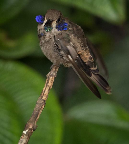 Brown Violet-ear, Sumaco area