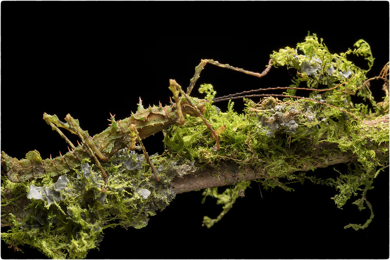Mossy Walkingstick, Sumaco area