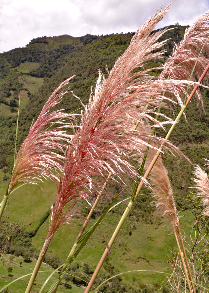 3/9/16 - The beautiful Pampas Grass along the road.