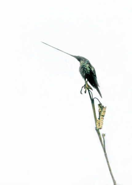 3/8/16 - Look at the beak on this hummingbird.