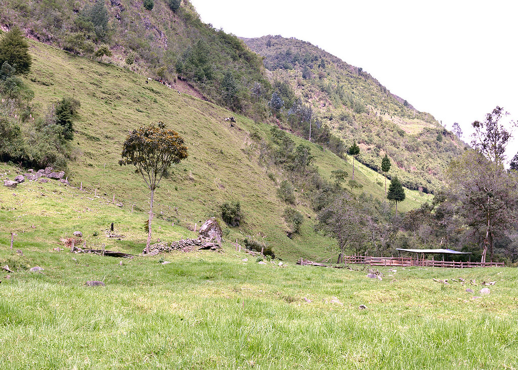 3/8/16 - Cows seen grazing on hillside from down by the Chan Chan River.