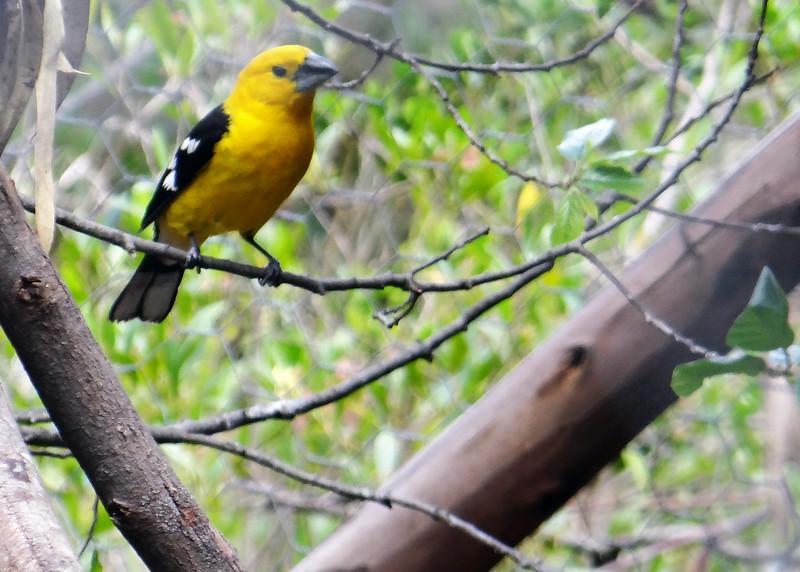 11/18/15 - Pretty yellow bird.