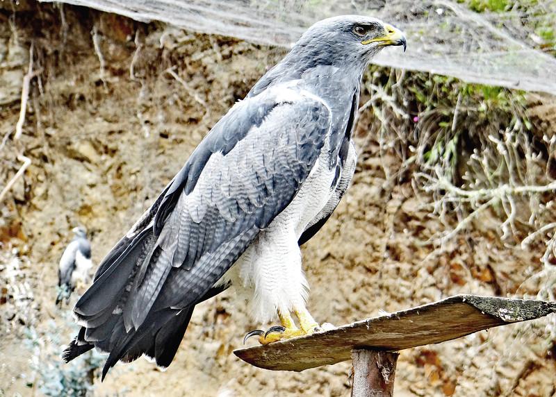 1/18/15 - Perchinegras Eagle.