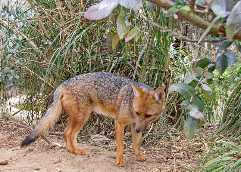 11/18/15 - Cute little fox.