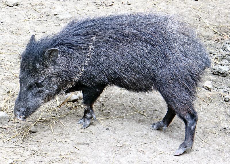 1/18/15 - Pig.