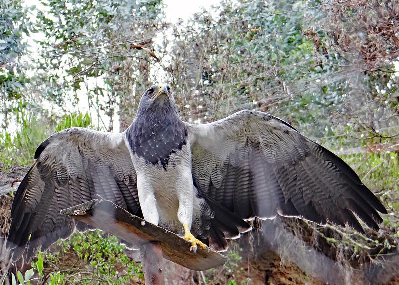11/18/15 - Perchinegras Eagle.