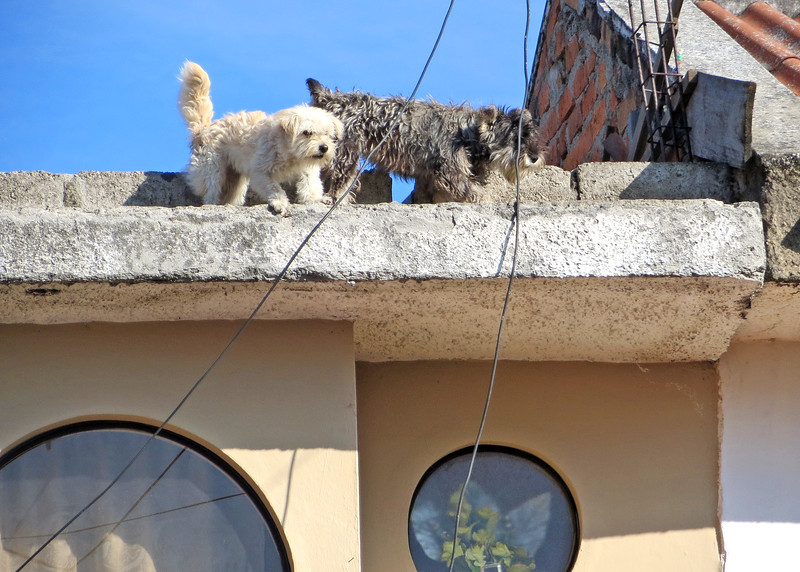 7/20/15 - Walk to Spanish class.  Don't you just love these little rooftop dogs!  They were guarding the house and barking at me as I went by.