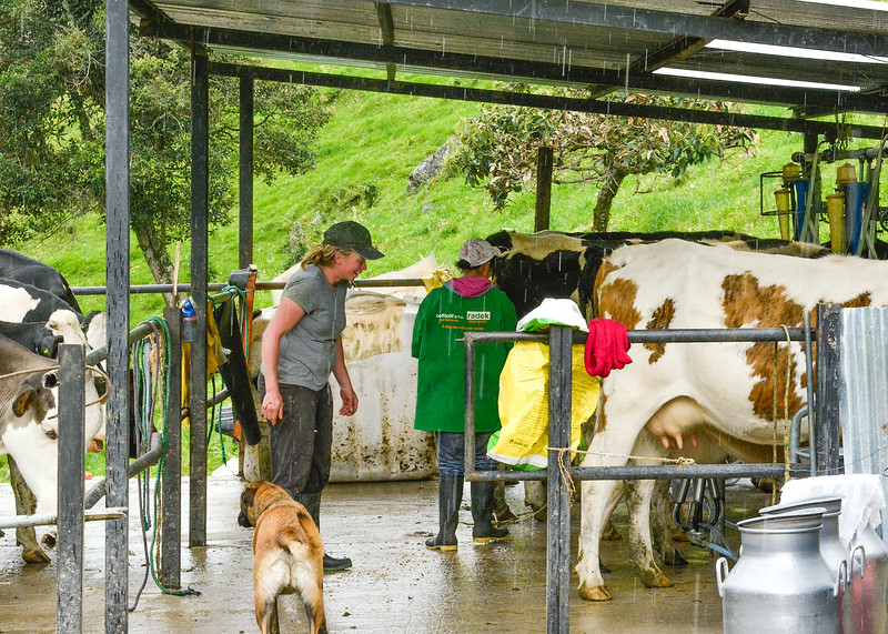 1/12/19 - This is the milking station. Hacienda Chan Chan currently produces around 300 liters (about 80 gallons) of milk per day. Most of that milk gets picked up and sold to the local milk plant, while a portion of it is turned into cheese, yogurt and butter..