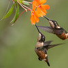 """Two pretty Females -<br /> <br /> Coming into one flower for a drink.  This is always a hopeful scene to capture, finding 2 hummingbirds that are both sharp and on a nice flower. <br /> <br /> We sure had some fun in Ecuador!<br /> <br /> I really look forward to the next tour.<br /> <br /> Best regards, thanks for looking.<br /> ray@raymondbarlow.com<br />  <a href=""""http://www.raymondbarlow.com"""">http://www.raymondbarlow.com</a><br /> <br /> Female Woodstars.<br /> Ecuador Tours with Raymond.<br /> <br /> 1/1600 sec;   f/7.1;   ISO 2500<br /> @ 350 mm.<br /> <br /> 300th image in the G+ nature images  gallery since I started., 33 million views!<br /> <br /> thanks so much to everyone!"""
