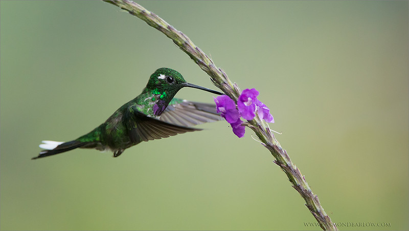 """Purple-bibbed Whitetip<br /> <br /> Travel to Ecuador is so easy.<br /> <br /> We were off the plane, and into our first lodge room in about 1.5 hours.. beautiful highways, clean rooms, superb food, and excellent hosts. A dream photo trip.<br /> <br /> Thanks to my guests, my first time in this wonderful country was a true success., and I am heading back there soon!!<br /> <br /> Take good care.<br /> <br /> Purple-bibbed Whitetip<br /> RJB Ecuador Tours<br />  <a href=""""http://www.raymondbarlow.com"""">http://www.raymondbarlow.com</a><br /> 1/4000s f/4.0 at 400.0mm iso3600"""