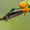 Andean Emerald<br /> <br /> Ecuador Photo Tours<br /> ray@raymondbarlow.com<br /> Nikon D800 ,Nikkor 200-400mm f/4G ED-IF AF-S VR<br /> 1/1250s f/4.0 at 330.0mm iso2000