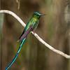 "Long-Tailed Sylph<br /> Raymond's Ecuador Tours<br /> <br />  <a href=""http://www.raymondbarlow.com"">http://www.raymondbarlow.com</a><br /> ray@raymondbarlow.com<br /> Nikon D810 ,Nikkor 200-400mm f/4G ED-IF AF-S VR<br /> 1/200s f/4.0 at 400.0mm iso400"