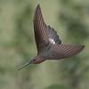 "Ecuador's Giant Hummingbird<br /> Raymonds Ecuador Tours<br /> <br />  <a href=""http://www.raymondbarlow.com"">http://www.raymondbarlow.com</a><br /> ray@raymondbarlow.com<br /> Nikon D810 ,Nikkor 200-400mm f/4G ED-IF AF-S VR<br /> 1/5000s f/4.0 at 240.0mm iso1000"