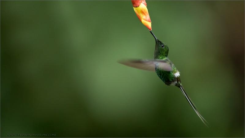 Green Thorntail Feeding<br /> Raymond's Ecuador Photography Tours<br /> <br /> ray@raymondbarlow.com<br /> <br /> Natures beauty is worth Protecting.<br /> Nikon D810 ,Nikkor 200-400mm f/4G ED-IF AF-S VR<br /> 1/640s f/4.0 at 400.0mm iso2500