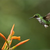 Female Booted racket-tail in Flight<br /> Raymond's Ecuador Photography Tours<br /> <br /> ray@raymondbarlow.com<br /> Nikon D810 ,Nikkor 200-400mm f/4G ED-IF AF-S VR<br /> 1/640s f/6.3 at 360.0mm iso2500