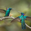 Sparkling Violetear<br /> <br /> What a cool name! <br /> <br /> We found these beauties fighting in a tree close to out lodge (10 yards from the bathroom) in Ecuador.  This week I am hosting a photo tour here, and having fun, while working!<br /> <br /> These birds are very territorial, and fight constantly.  Action shots are always fun with birds, so this place can be quite excellent.  Great food and hospitality, so thanks to everyone in Ecuador!<br /> <br /> More images from this tour coming soon.<br /> <br /> For more info on my photo tours, please email me!<br /> <br /> ray@raymondbarlow.com<br /> <br /> Sparkling Violetear<br /> Ecuador mountains at 11,000 feet!