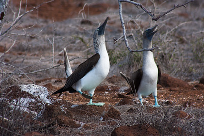 Journey into Baltra Island in the Galapagos Archipelago 9 Blue Footed Booby Seeking Attention