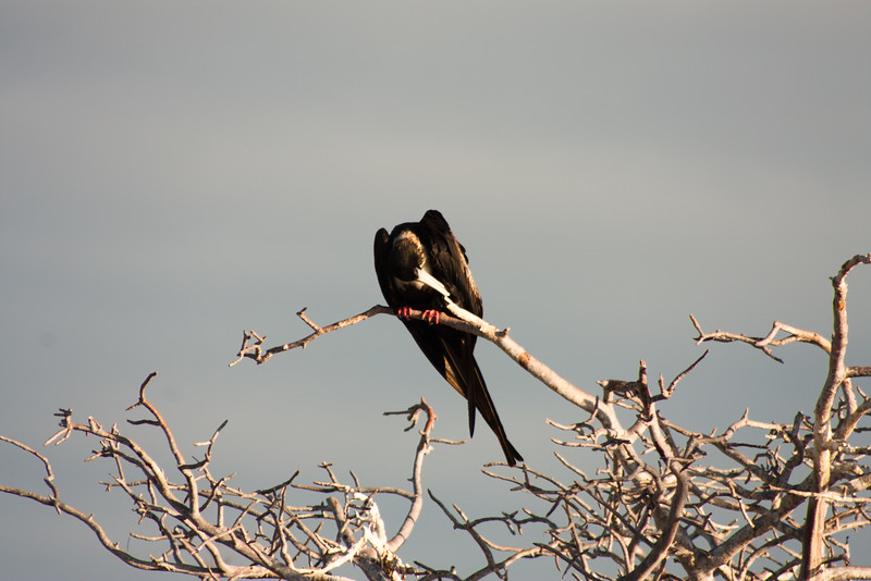 Journey into Baltra Island in the Galapagos Archipelago 20 Frigate Bird Look Out