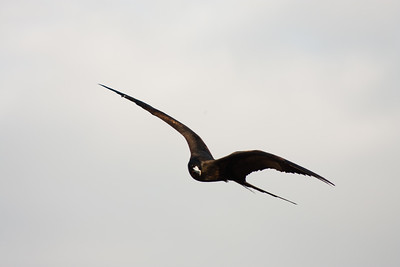 Journey into Baltra Island in the Galapagos Archipelago 21 Frigate Bird Soaring