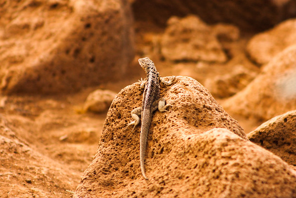 Journey into Baltra Island in the Galapagos Archipelago 12 Small Lizard