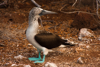 Journey into Baltra Island in the Galapagos Archipelago 11 Standing Blue Footed Booby