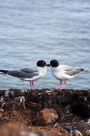 Journey into Baltra Island in the Galapagos Archipelago 7 Bird Bonding