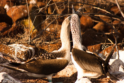 Journey into Baltra Island in the Galapagos Archipelago 16 Blue Footed Booby Affection