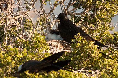 Journey into Baltra Island in the Galapagos Archipelago 18 Mother and Child Frigate Bird