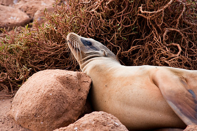 Journey into Baltra Island in the Galapagos Archipelago 2 Relaxing Sea Lion