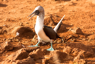 Journey into Baltra Island in the Galapagos Archipelago 14 Blue Footed Booby Walking