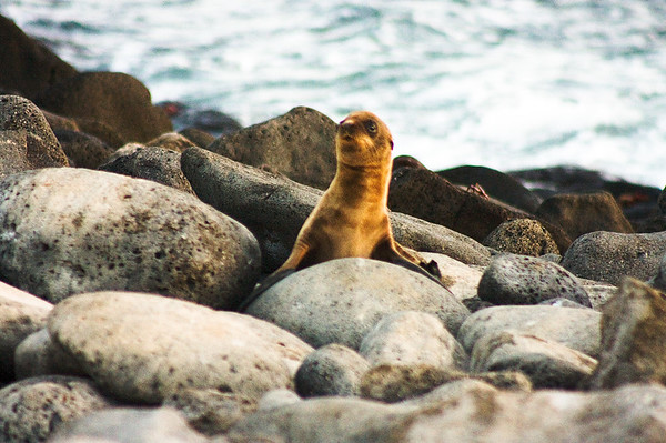 Sea Lion Pup out of the Water : Journey into Genovesa Island in the Galapagos Archipelago