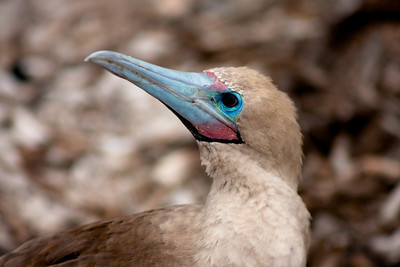 Red Footed Booby Close Up : Journey into Genovesa Island in the Galapagos Archipelago