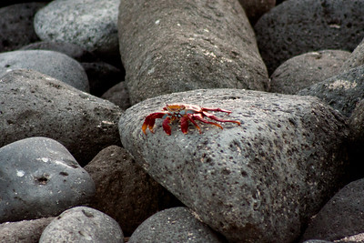 Sally Light Foot Crab on the Stone : Journey into Genovesa Island in the Galapagos Archipelago