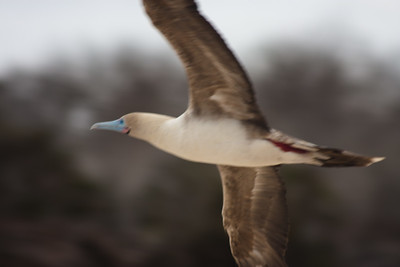Flying Red Footed Booby : Journey into Genovesa Island in the Galapagos Archipelago